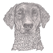 Curley-Coated Retriever