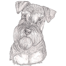 Schnauzer Natural Ears