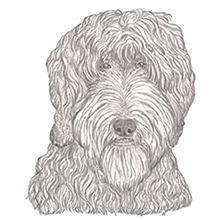 Labradoodle Chocolate