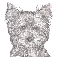 Yorkshire Terrier Pup Cut